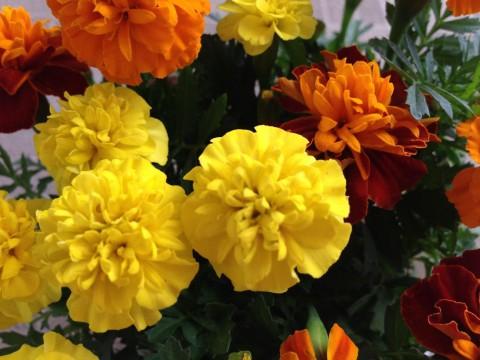 チアガールのポンポンみたいでかわいいお花です
