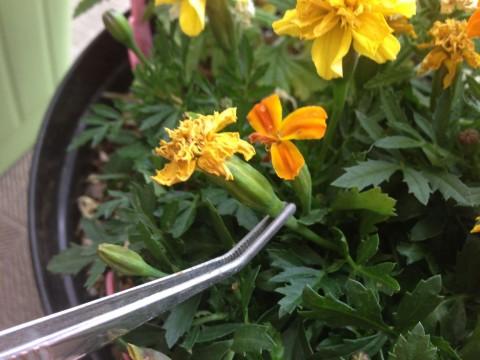 咲き終わったら、ピンセットの下あたりをきれいなハサミでカットしましょう