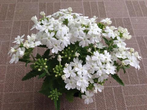 我が家のバーベナです。園芸店にて198円で購入。まっすぐでほふく性はみられず葉っぱが大きいので一年草だと思います